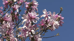 Flowering tree pink magnolia Stock Footage