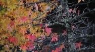 Stock Video Footage of Fall Colors 0930