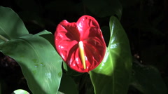 Hawaii Anthurium flower red Stock Footage