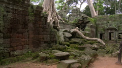 Jungle tree has destroyed a temple wall while growing through it - stock footage