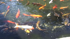 Many colorful carp swimming around Stock Footage