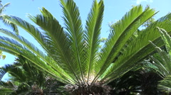Cycads a primative plant Stock Footage