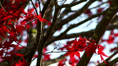 Japanese Maple Medium Breeze Stock Footage