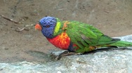Rainbow Lorikeet Parrot Stock Footage