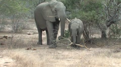 Baby Elephant takes branch from mom  - stock footage