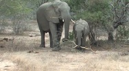Baby Elephant takes branch from mom  Stock Footage