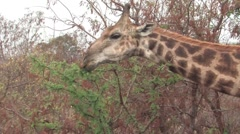 Masai Giraffe  - stock footage