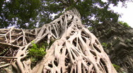 Stock Video Footage of Huge Jungle tree roots criss crossing