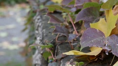 Autumn fall leafs on old stone wall Stock Footage