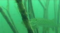 Big pike  Stock Footage