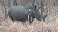 Stock Video Footage of White Rhino