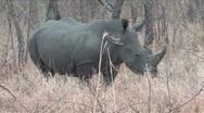 White Rhino Stock Footage