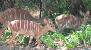 Kudu in Kruger Stock Footage