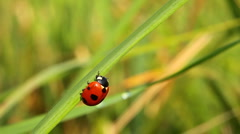 Ladybug on green grass. Close-up Stock Footage