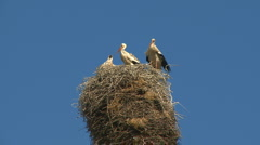 Storks family in the nest Stock Footage