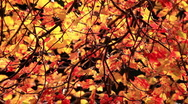 Stock Video Footage of Colorful Red and Yellow Autumn Foliage