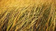 Dry grass on the wind, autumn season. Stock Footage