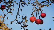 Stock Video Footage of Red apples on the twig, autun season.