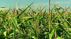 Corn field in the mid day sun 1 Stock Footage