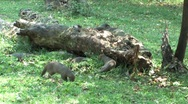 Stock Video Footage of Mongoose in Chobe