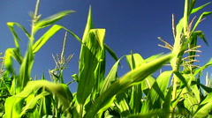 Corn field in the mid day sun 4 Stock Footage