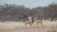 Herd of Eland walking in Etosha National Park Stock Footage