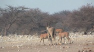 Stock Video Footage of Herd of Eland walking in Etosha National Park