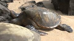 Big green sea turtles resting in hawaii Stock Footage