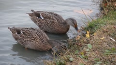 Wild migratory ducks in the lake Stock Footage