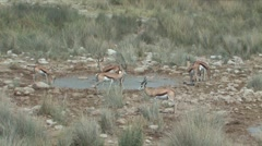 Herd of Springbok Stock Footage