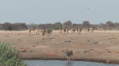 Mixed animals at waterhole Stock Footage