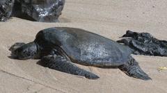 Big green sea turtle hawaii Stock Footage