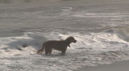 Stock Video Footage of Dog plays in surf