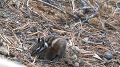 Golden-mantled ground squirrel Stock Footage