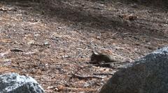 Golden-mantled ground squirrel Stock Footage