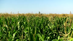 Corn field in the mid day sun 6 - stock footage