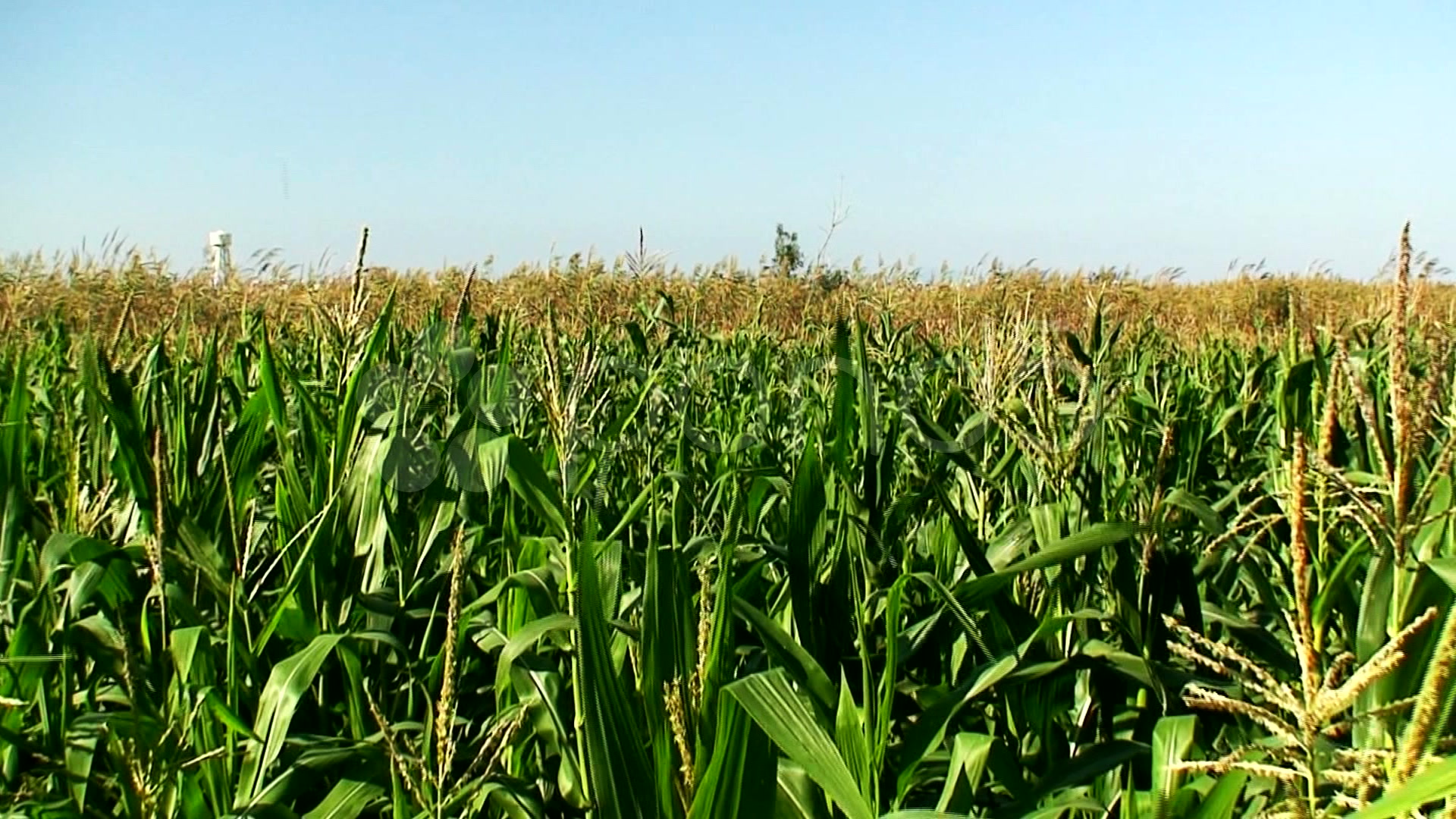 corn field download - photo #46
