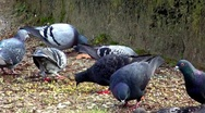Pigeons Stock Footage