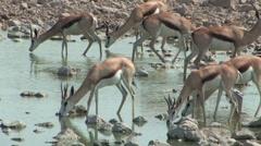 Springbok drinking at water hole in Etosha Stock Footage