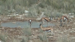 Springbok drinking at water hole Stock Footage