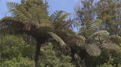 Black fern or Ponga Stock Footage