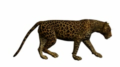 Leopard walking Stock Footage