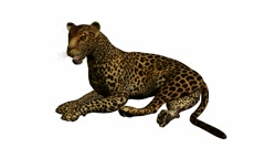 Leopard lying down Stock Footage