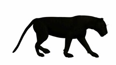 Black leopard walking Stock Footage