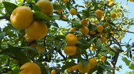 Stock Video Footage of Tangerines hanging on a branch