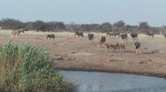 Stock Video Footage of Herd of Eland drinking at waterhole