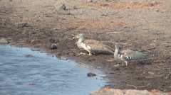 Two Kori Bustards drinking at waterhole Stock Footage