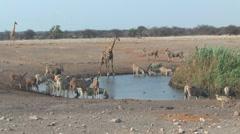 Mixed animals at waterhole Etosha Stock Footage