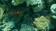 Red dot fish P1 Stock Footage