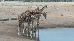 Masai Giraffe Etosha - stock footage